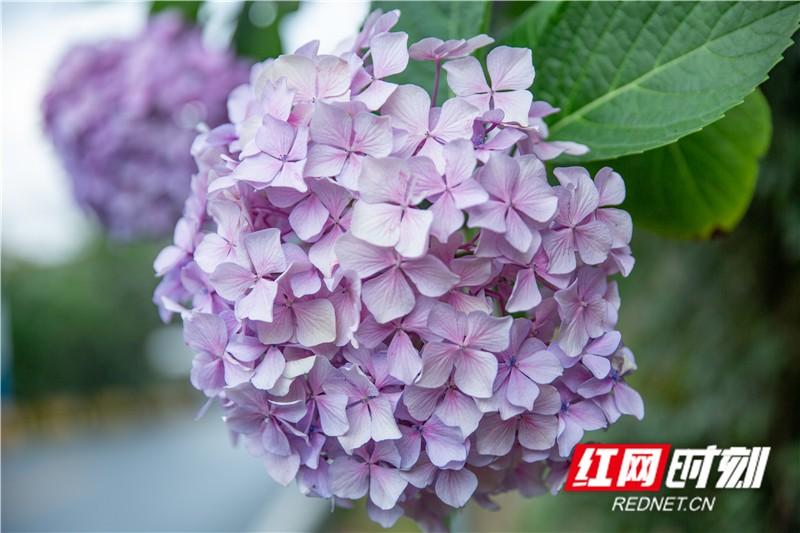 每年五六月間,正是繡球花盛開之時。