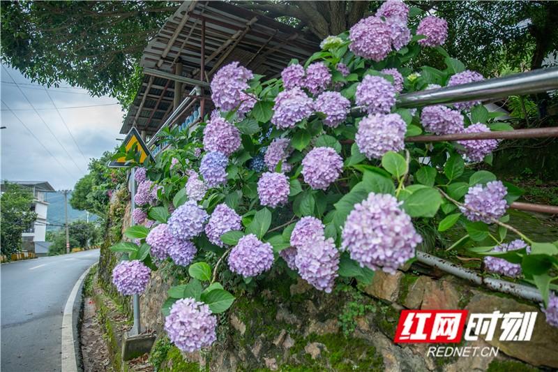 資興市黃草鎮金牛島公路附近的農戶家開滿了繡花球。