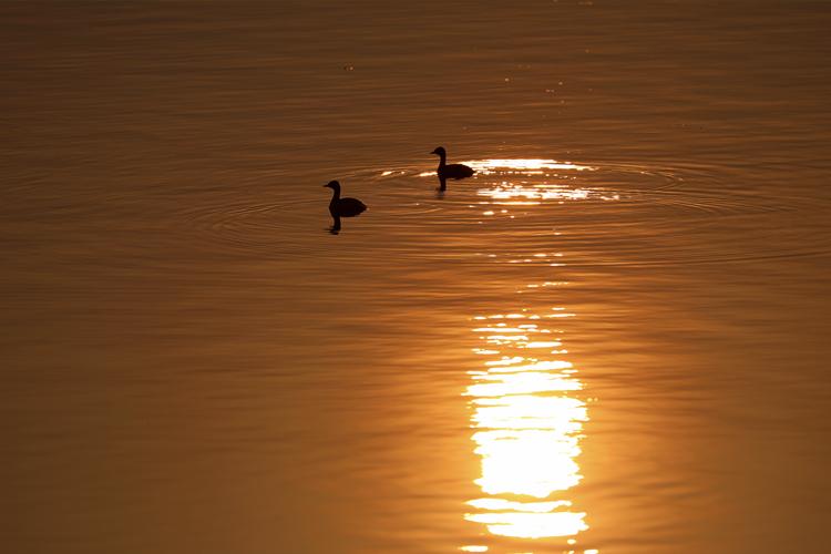 两只野鸭在东江湖上栖息。