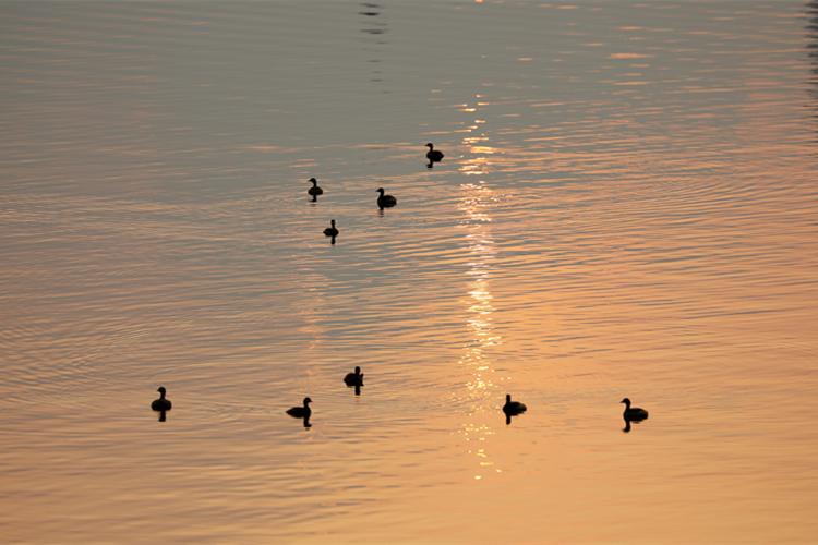 余晖倒印在湖面上,野鸭戏水、飞翔、觅食,构成一幅和谐的生态景观。