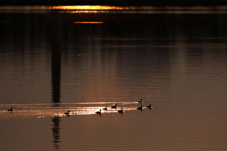 2月23日,在东江湖下游,成群野鸭在水面嬉戏。