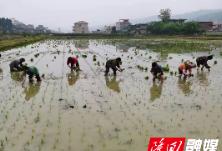 三阁司镇早稻生产移栽忙