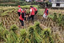 金石桥镇峡溪村志愿者服务队助农忙收割