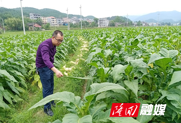 产业兴旺 山乡巨变 西洋江镇全力创建烤烟强镇