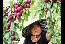 """从陕西渭南到浏阳,他将水果种植好技术""""嫁""""到大围山"""