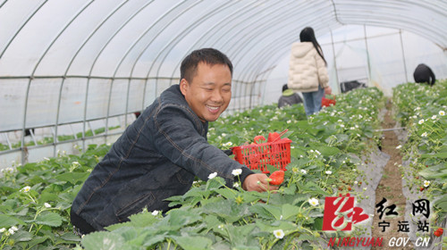 【稳就业 强基础 富家乡】宁远:返乡创业种草莓助农富_副本500.jpg