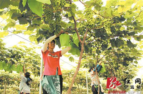 宁远引进外资发展高档水果2万余亩 促农民增收_副本500.jpg