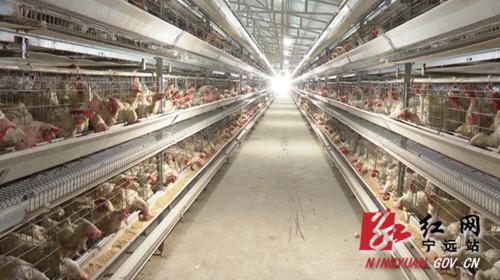 【乡村振兴】宁远:蛋鸡养殖领跑乡村振兴致富路01_副本500.jpg