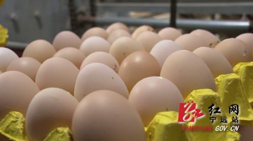 【乡村振兴】宁远:蛋鸡养殖领跑乡村振兴致富路02_副本500.jpg