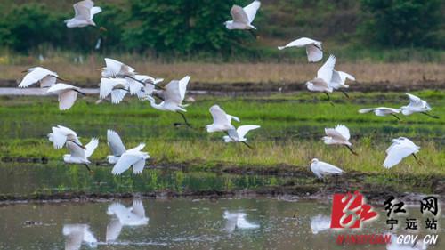 """宁远:九嶷河国家湿地公园成为温馨的候鸟""""驿站""""2_副本500.jpg"""