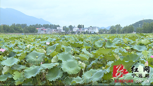 """宁远西湾村:1500亩荷花结出致富""""金豆豆""""1500.jpg"""