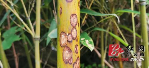 宁远:九嶷山新发现一片斑竹林1_副本500.jpg