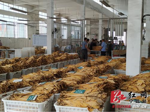 宁远中和镇:烟叶种植迎丰收 质量价格双增长_副本500.jpg