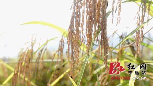 """宁远:九嶷山试种25亩""""巨型稻""""获得丰收02_副本500.jpg"""