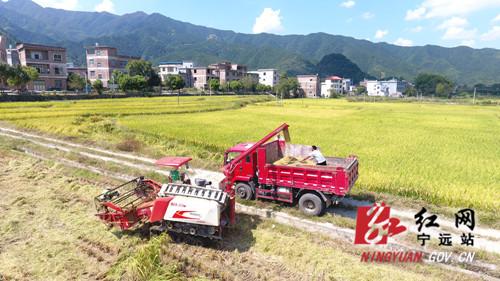 """宁远:九嶷山试种25亩""""巨型稻""""获得丰收01_副本500.jpg"""
